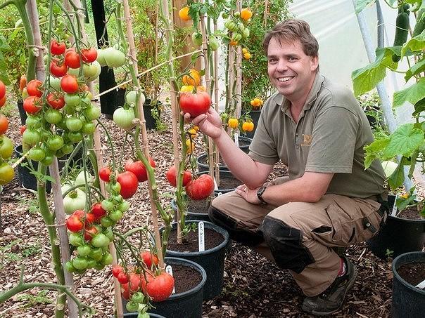 Как сажать помидору фото