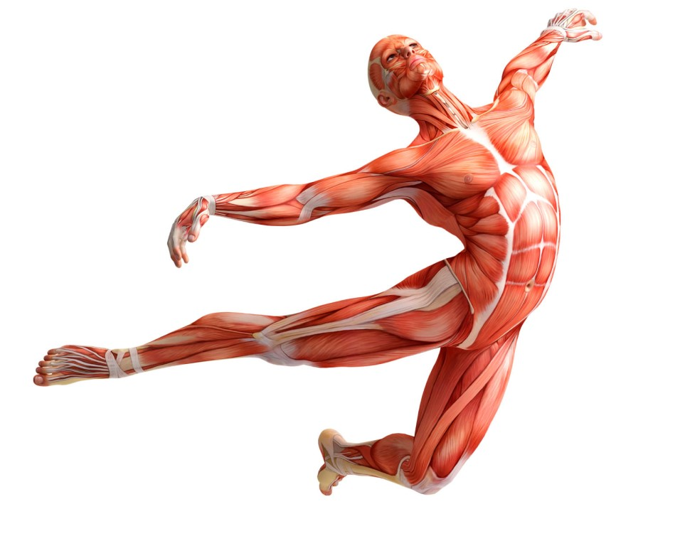 muscle system General muscle terminology as you are familiar with from lab, many unique terms are associated with the muscular system, ranging from describing how a muscle works to the general shape of the muscle itself.