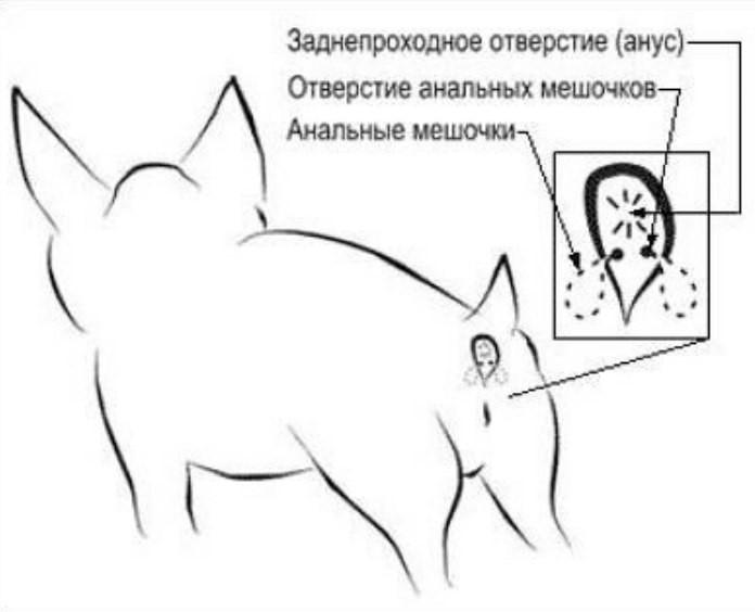 kak-chistit-analnie-zhelezi-chihuahua