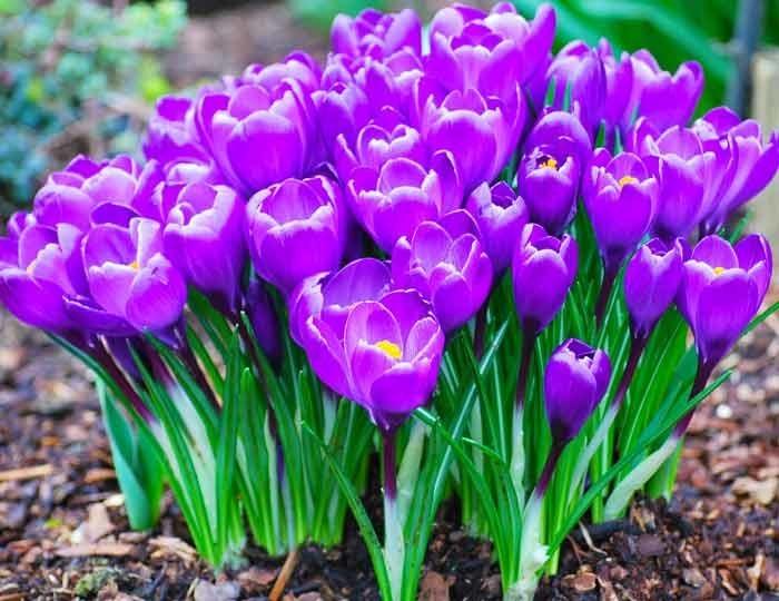 Комнатные луковичные цветы с названиями и фото луковичных