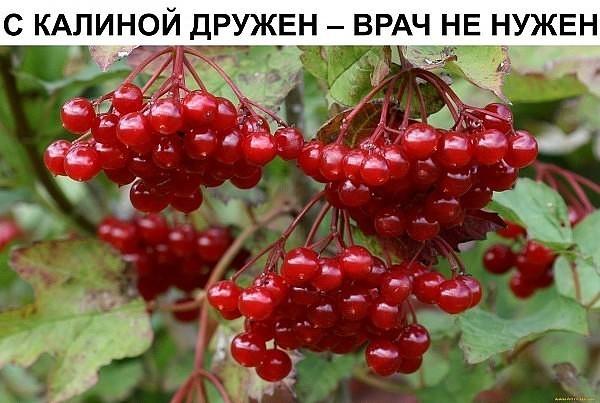 С КАЛИНОЙ ДРУЖЕН - ВРАЧ НЕ НУЖЕН