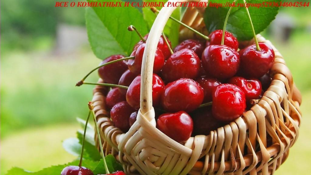 Если вишня вся в цвету — это к счастью и благорасположению судьбы.