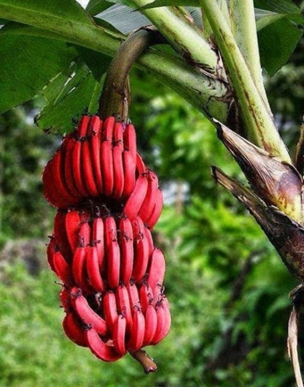 Бананы содержат не только витамин b6, витамин с и калий, но также широко используются в качестве легкой закуски, десертов и даже в еде.