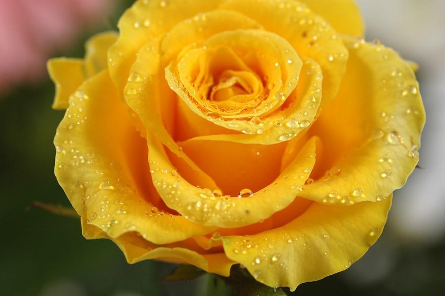 yellow love rose - 900×598