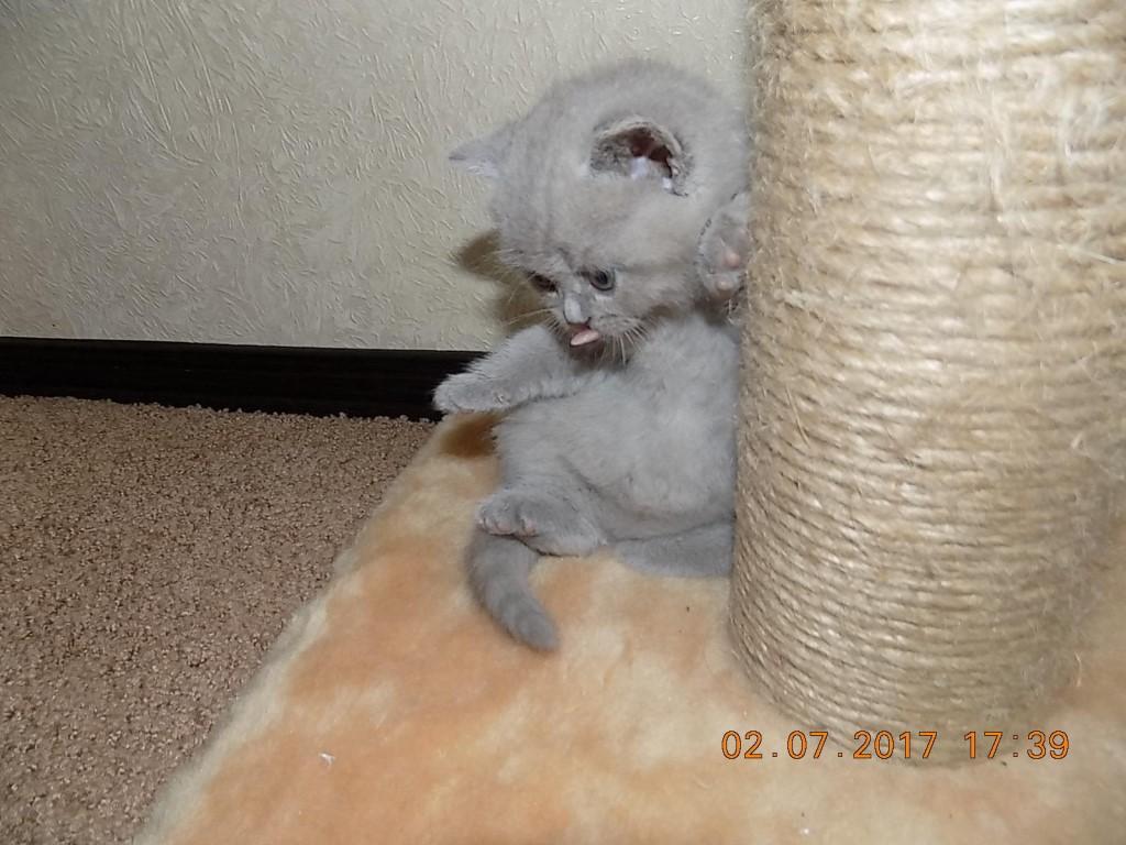 Чистокровная британская, плюшевая кошечка лилового окраса, родилась 04.06.17 Кошечка вырастит умненькой и крупной красавицей.