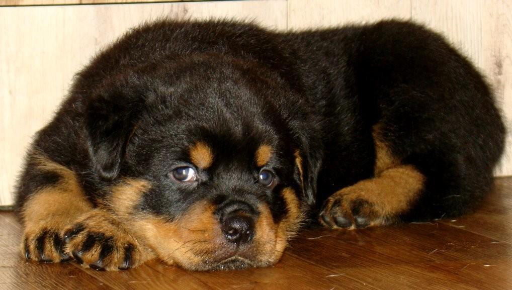 Предлагаем к продаже щенков ротвейлера с отличной родословной от титулованной пары.
