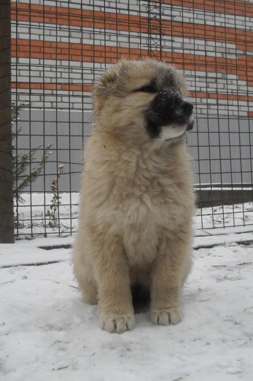 Предлагаются к продаже щенки кавказской овчарки от пары м.